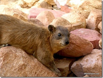 BiblePlaces Blog Hyraxes a Nuisance in Israel