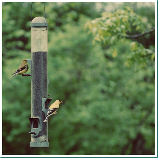 Cottage Yellow Warblers