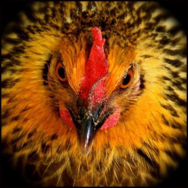 hen-face-judy-woodall