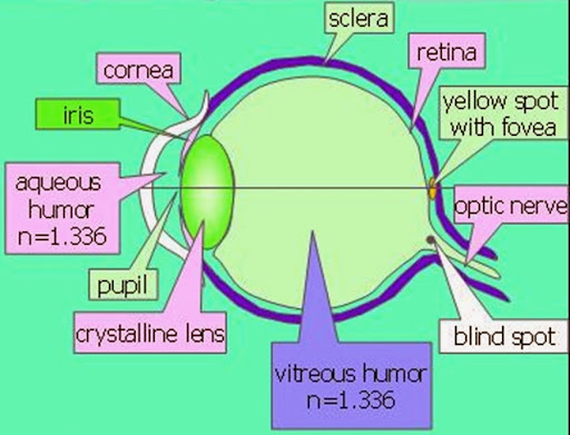 human eye diagram blind spot usb charger cable wiring major differences difference between and yellow