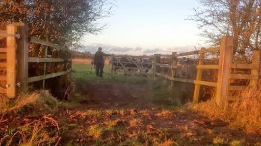 Dr David, cow herder (2)