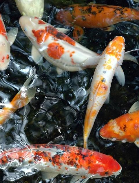 Wallpaper Hidup Ikan Koi : wallpaper, hidup, Wallpaper, Bergerak, Untuk, Android, Aneka