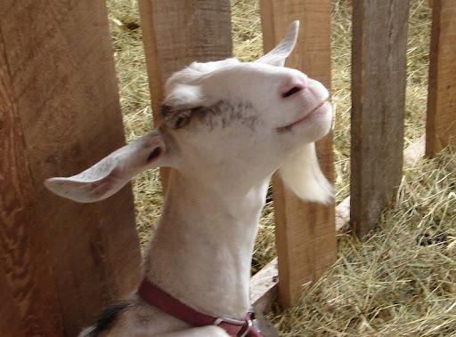 Paula, the smiling goat