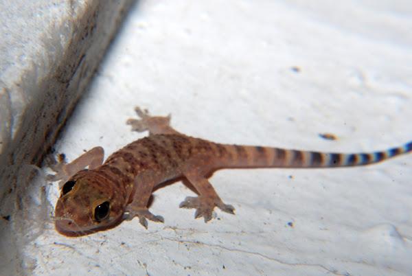 Hemidactylus turcicus (Mediterranean house gecko ...