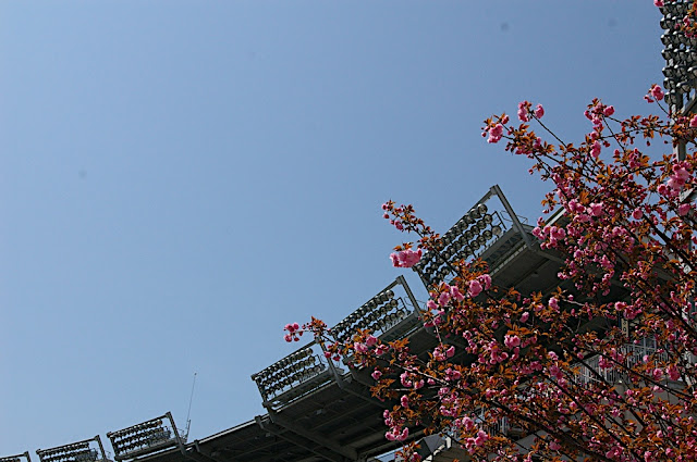 Cherry blossoms and the stadium