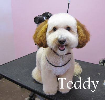 Teddy the Bichon