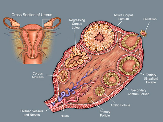The ovary labeled