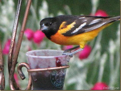 birds at feeder_20090624_049