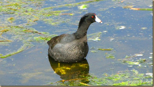 coot (6)