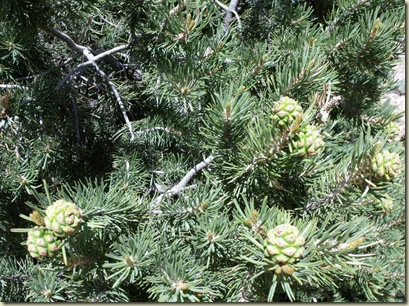 Pinyon Pine with cones Hwy 67 Kaibab National Forest Arizona