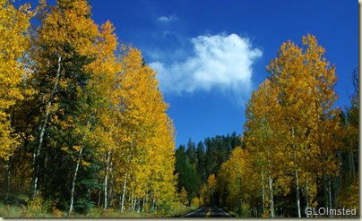 Golden aspen line the road to Walhalla North Rim Grand Canyon National Park Arizona