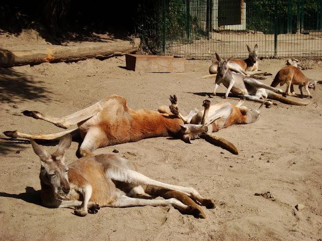 """Na pierwszym planie: kangur """"The Dude"""""""