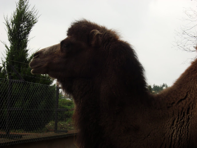Wielbłąd dwugarbny Miluś - gwiazda człuchowskiego zoo