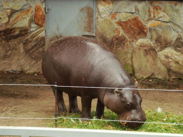 Hipopotam karłowaty - Zoo Człuchów