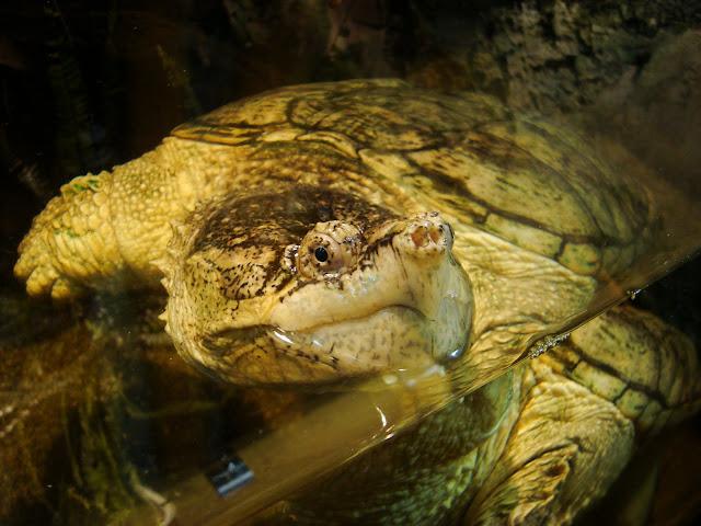 Bliskie spotkania z żółwiem jaszczurowym