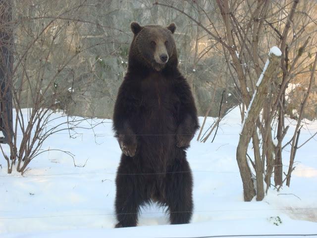 Niedźwiedź stoi!