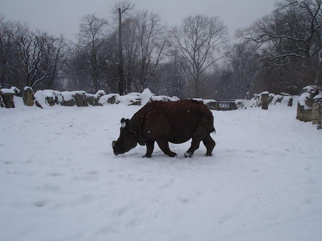 Nosorożec śnieżny