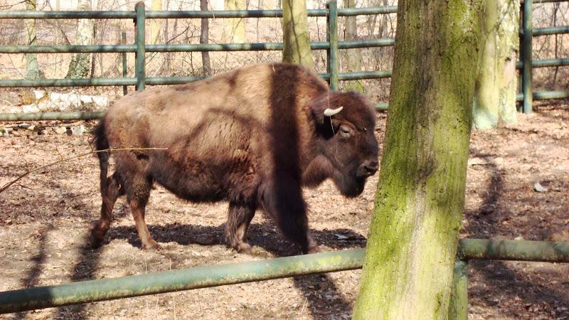 Bizon leśny