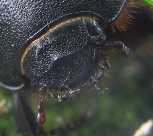 Ganajtúró bogár photostock, photos for sale, eladó képek Scarabeus affinis, Scarabeidae - ganéjtúrók, szkarabeuszm Budapest, bogár, makró