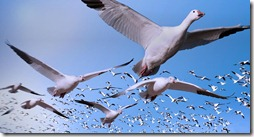 Bing_Background_SnowGeese