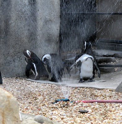 Penguins playing in the sprinklers