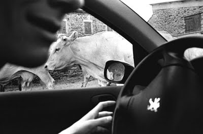 car and cow.jpg