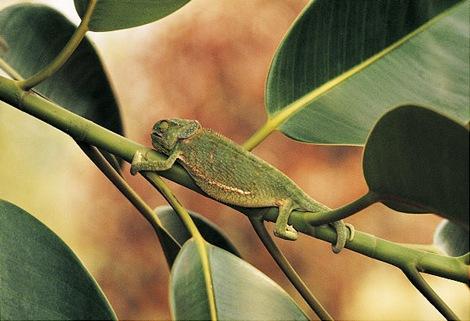 gal_super_chameleon