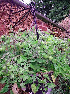Tom Thumb tomatoes in an hanging basket