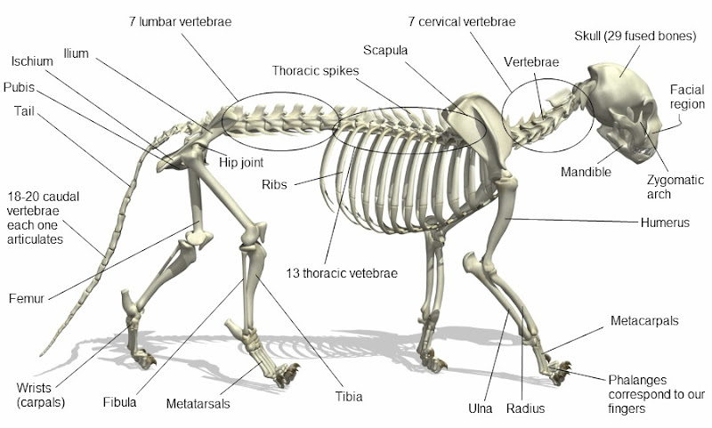 sheep skeleton diagram ao smith century ac motor wiring cat all data hamster and text