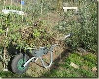 tomato plants lifted_1_1_1