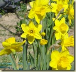 daffodils2_1