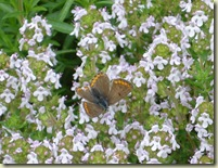 thyme   small butterfly_1