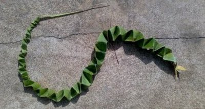 ഓല പാമ്പ്  | Oola paambu