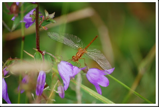 dragonfly purple flowers