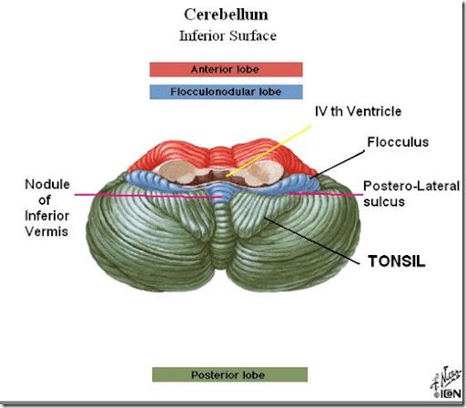 Cerebellar structure, function and vestibular disorder ... Flocculonodular Lobe Label
