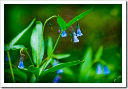 DSC_0006-bluebells