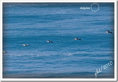 DSC_01885-pelicans-dolphin-in-balconies