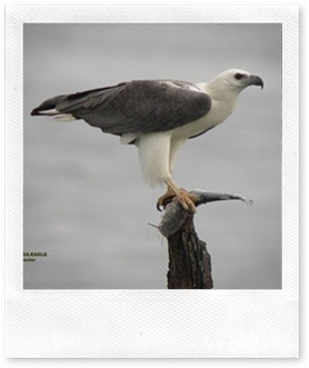550px-White-bellied_Fish_Eagle