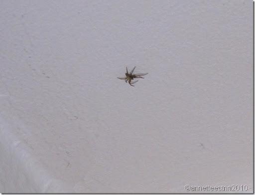 edderkop i stuen