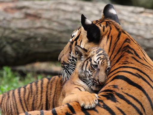 Pembiakan Haiwan b Haiwan Membiak Secara Melahirkan Anak