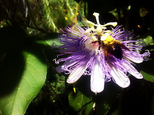 Passion Flower and Bumble Bee