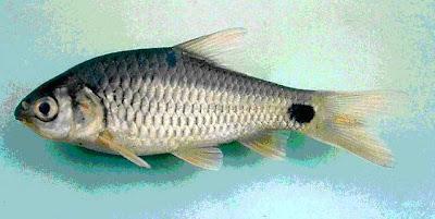 Ikan Beunteur dari perairan Laos