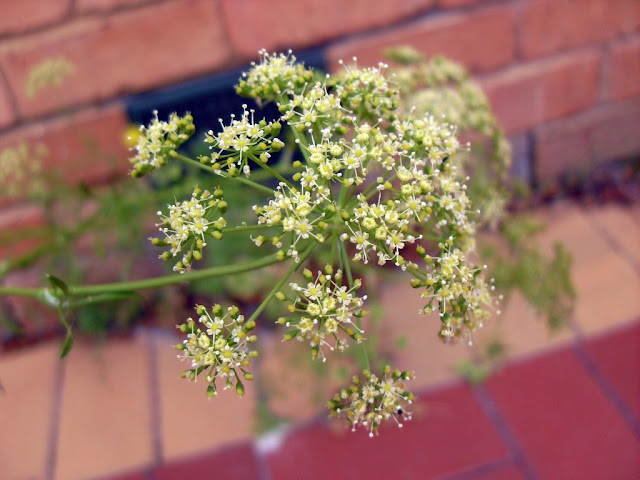 A Parsley in Flower