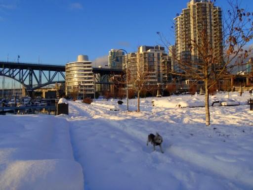 Brubin running, False Creek, Vancouver Christmas Day