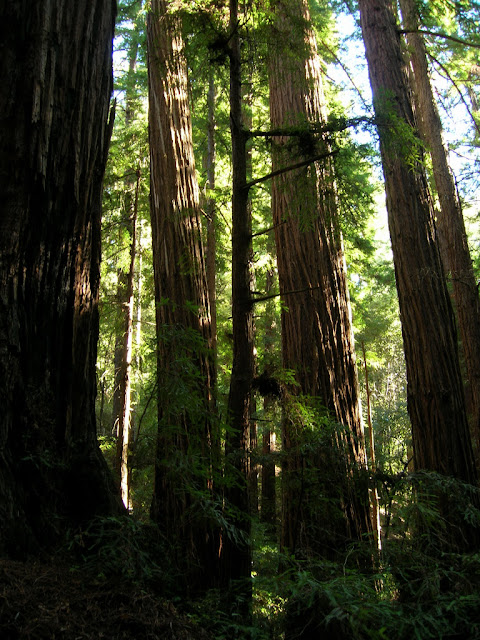 Redwoods near the bottom of the Pomponio Trail