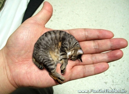 he lives in central illinois is two years old weighs about three pounds and is the worlds smallest cat the cats small stature was verified by the - Smallest Cat In The World Guinness 2013