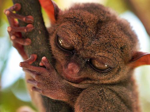 tarsier philippines 01 Inilah 24 Rekor Dunia yang Masih Dipegang  Indonesia