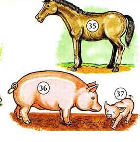 35 ။ မြင်း 36 ။ ဝက် 37 ။ piglet