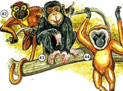 42. monkey  43. chimpanzee  44. gibbon