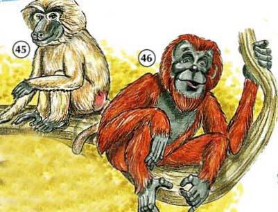 45. baboon  46. orangutan